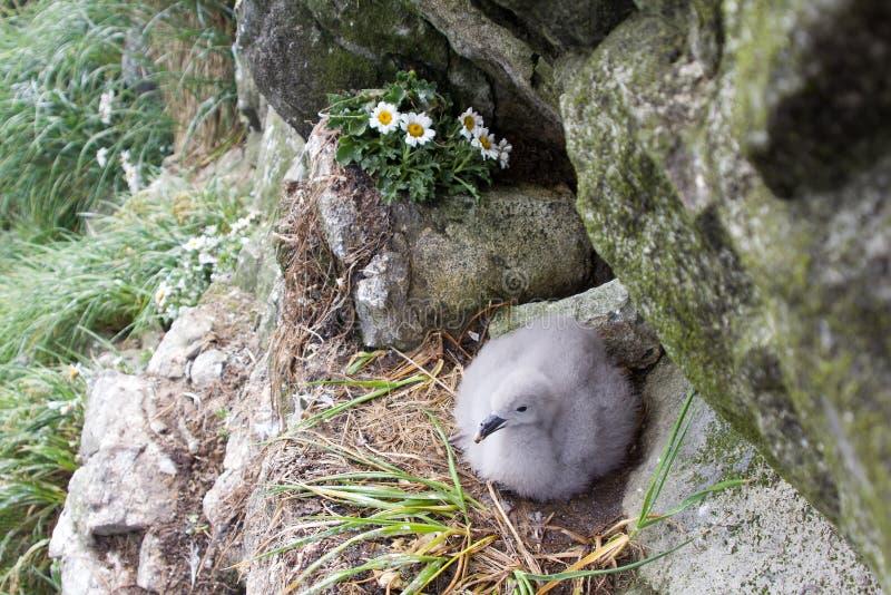 Het noordse stormvogelwijfje zit op enig ei voor incubatie 2 stock afbeelding