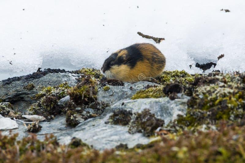 Het Noorse lemming stock foto