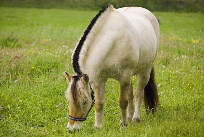 Het Noorse paard van de Fjord royalty-vrije stock afbeeldingen