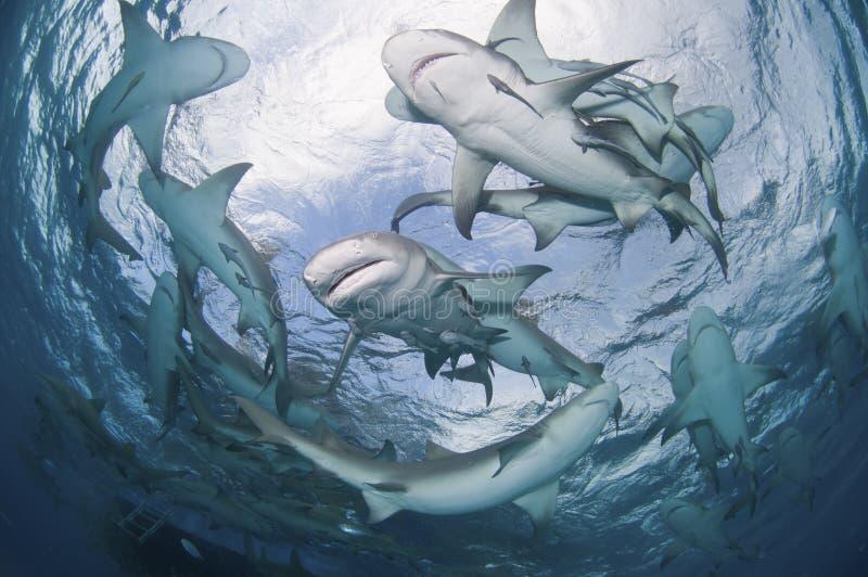 Het omcirkelen haaien royalty-vrije stock foto's
