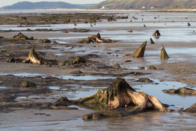 Het ondergedompelde bos op het strand in Borth stock afbeelding