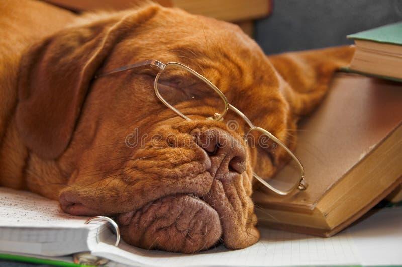 Het Onderwijs van de hond stock afbeeldingen