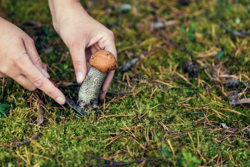 Het onderzoek naar paddestoelen in het hout Paddestoelplukker Een vrouw snijdt een witte paddestoel met een mes stock fotografie