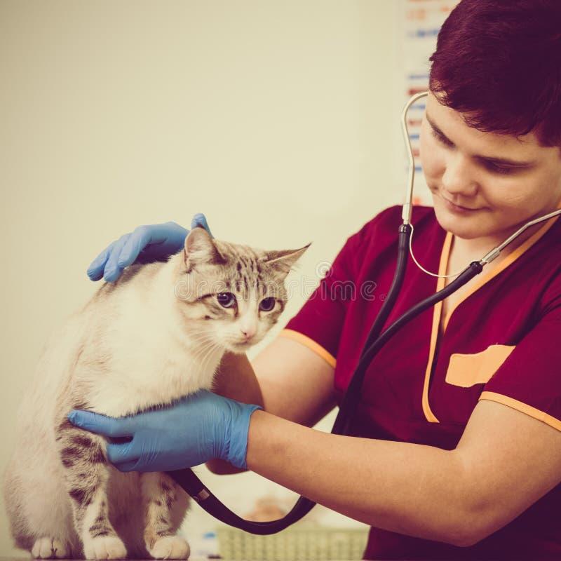Het onderzoeken van kat met stethoscoop stock afbeelding