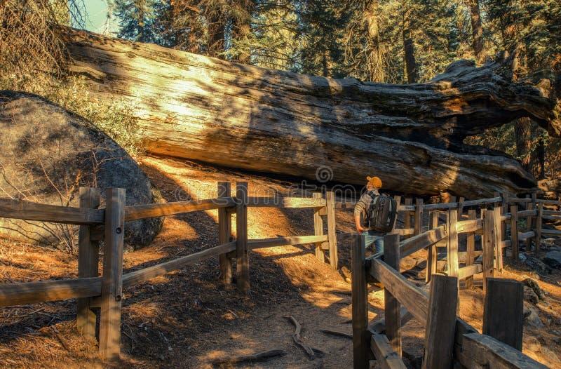 Het onderzoeken van Reuzesequoiabosje stock foto's