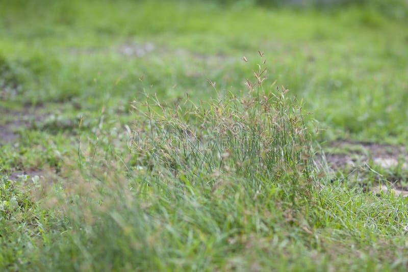 Het onduidelijke beeldvoorzijde en achtergrond van de grasbloem in aard voor achtergrond royalty-vrije stock afbeeldingen
