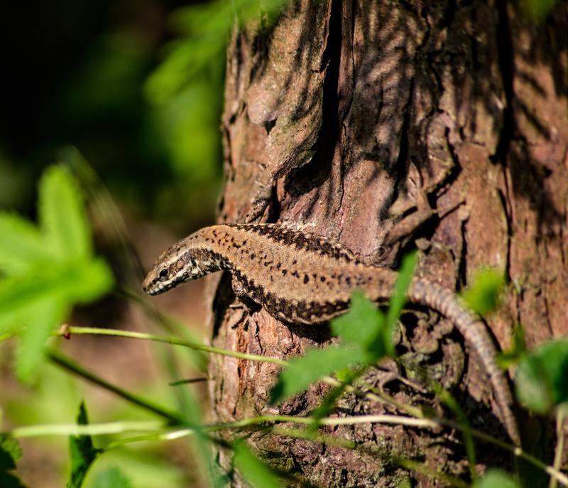 Het is ongeveer 15-20 cm lang gemiddeld met inbegrip van de staart De kleur van de rug varieert al naar gelang het gebied, en kan stock afbeelding