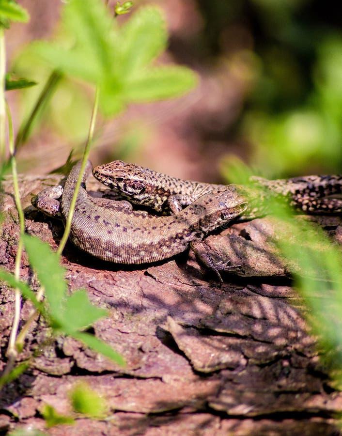 Het is ongeveer 15-20 cm lang gemiddeld met inbegrip van de staart De kleur van de rug varieert al naar gelang het gebied, en kan royalty-vrije stock foto