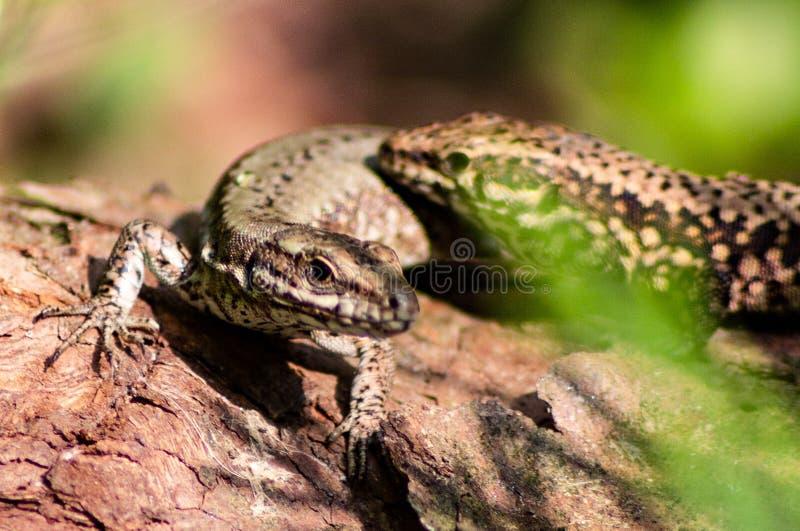 Het is ongeveer 15-20 cm lang gemiddeld met inbegrip van de staart De kleur van de rug varieert al naar gelang het gebied, en kan stock afbeeldingen