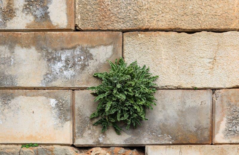 Het onkruid met verstoorde bladeren komt uit de barst van een ruwe blokmuur voort - achtergrond stock foto