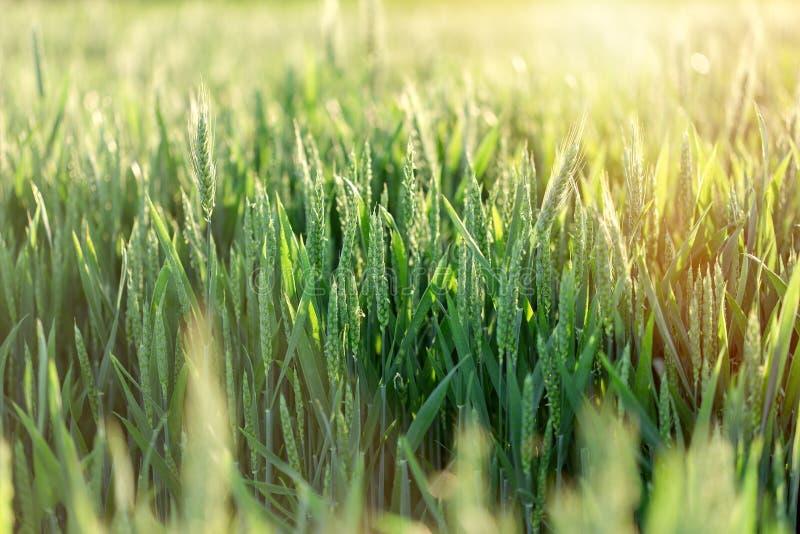 Het onrijpe gebied van de tarwe groene tarwe - groen tarwegebied stock afbeelding