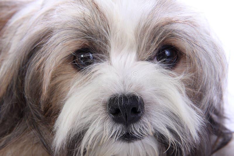 Het onschuldige gezicht van het puppy royalty-vrije stock afbeelding