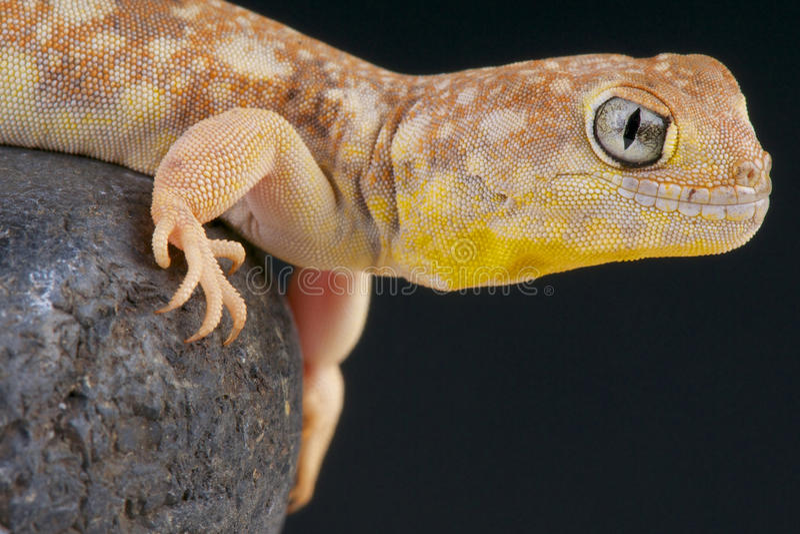 Het ontschorsen van gekko/Ptenopus-garrulus stock fotografie