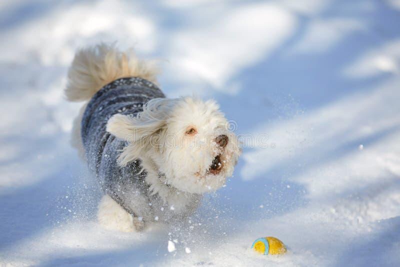 Het ontschorsen van havanese hond met bal in de sneeuw royalty-vrije stock afbeeldingen