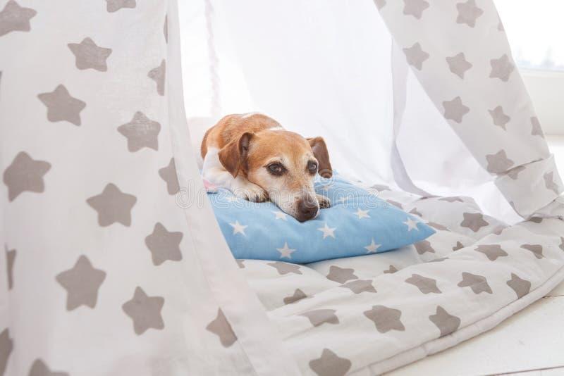 het ontspannen de terriër van hondjack russell liggen stock foto's