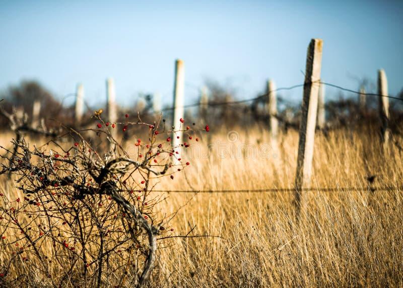 Het ontspannen en vreedzame scène van oude wijngaard royalty-vrije stock foto