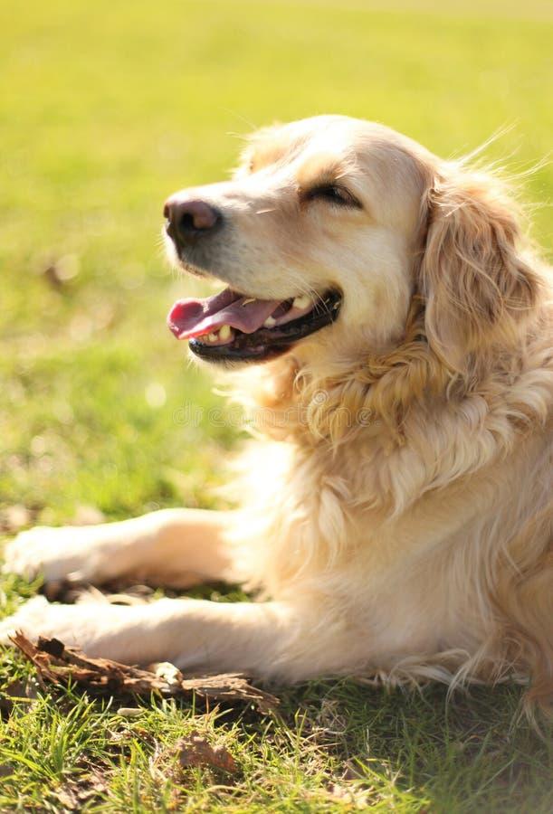 Het ontspannen hond royalty-vrije stock afbeelding
