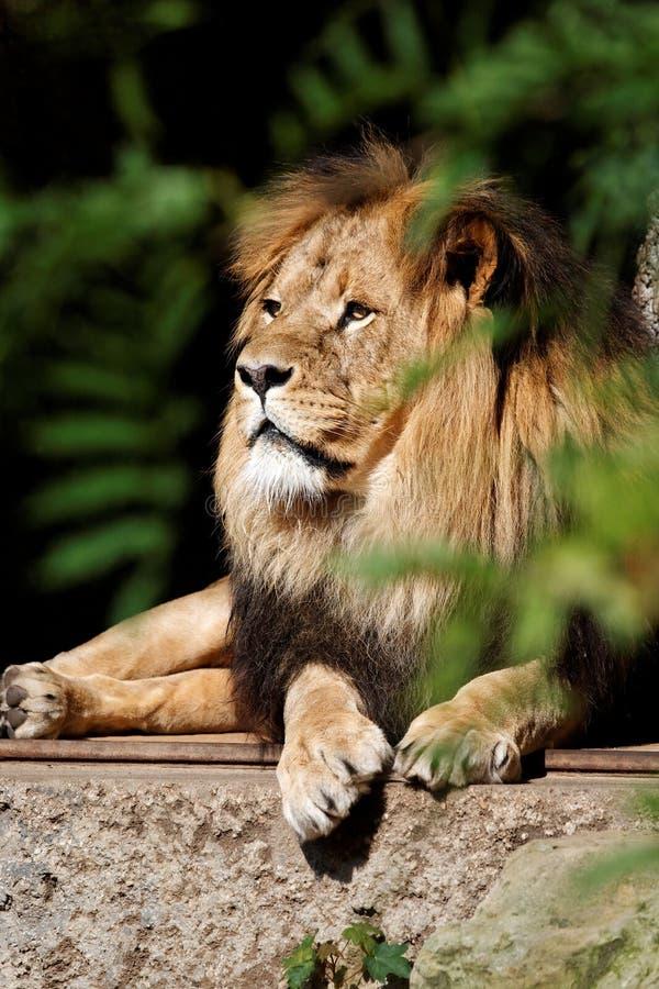 Het ontspannen Leeuw royalty-vrije stock fotografie