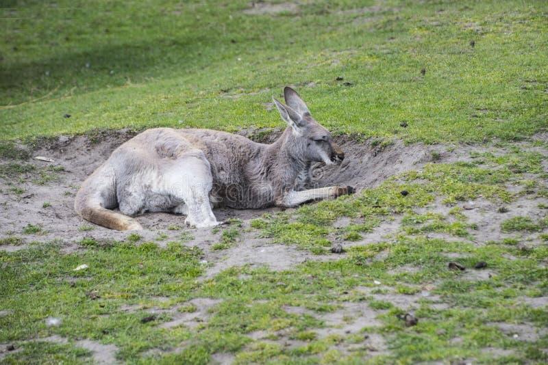 Het ontspannen rode rufus van kangoeroemacropus - grootst van alle kangoeroes stock afbeelding