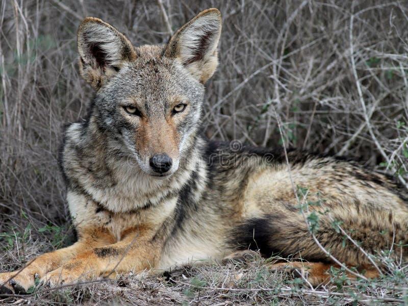 Download Het Ontspannen Van De Coyote In Zuid-Texas Stock Foto - Afbeelding bestaande uit outdoors, relaxing: 29504384