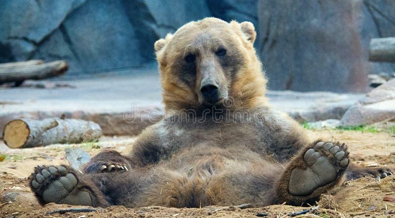 Het Ontspannen van de grizzly royalty-vrije stock afbeeldingen