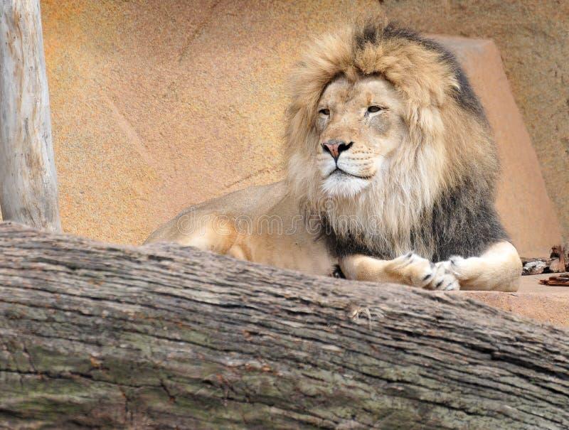 Het Ontspannen van de leeuw op Rotsen stock foto