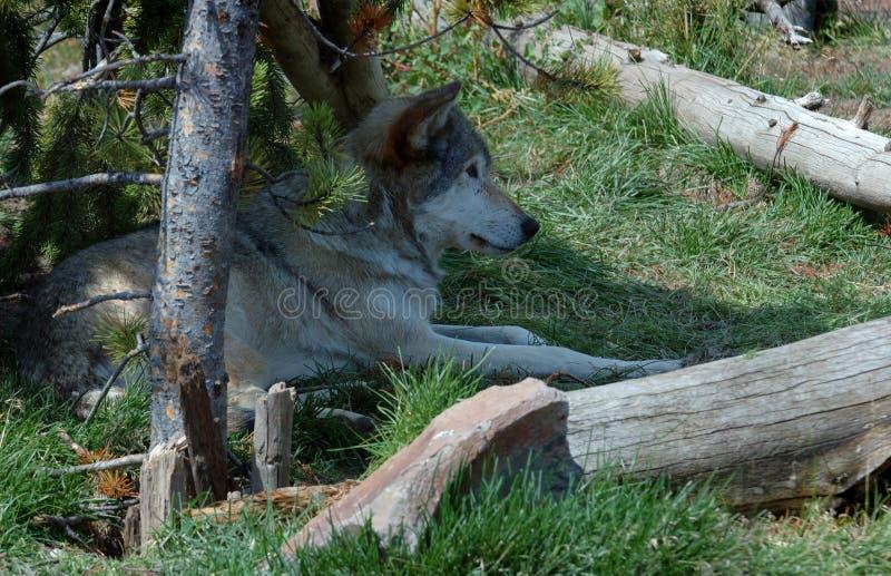 Hout Wolf Relaxing in Schaduw