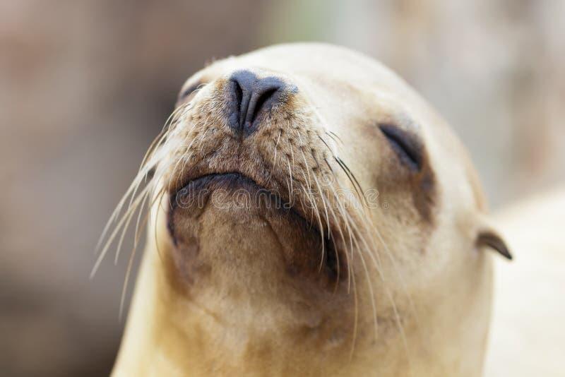 Het Ontspannen Van De Zeeleeuw In De Zon Van Californië Stock Afbeelding