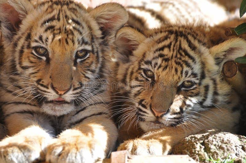 Het ontspannen van tijgers stock afbeelding