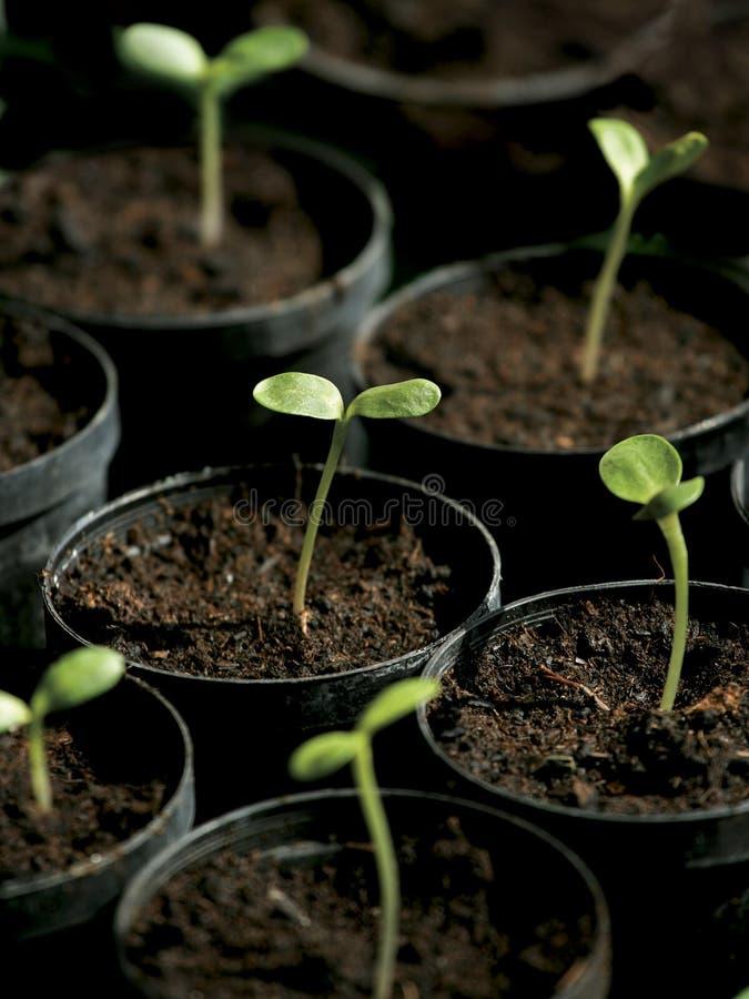 Het ontspruiten van zonnebloemen royalty-vrije stock foto