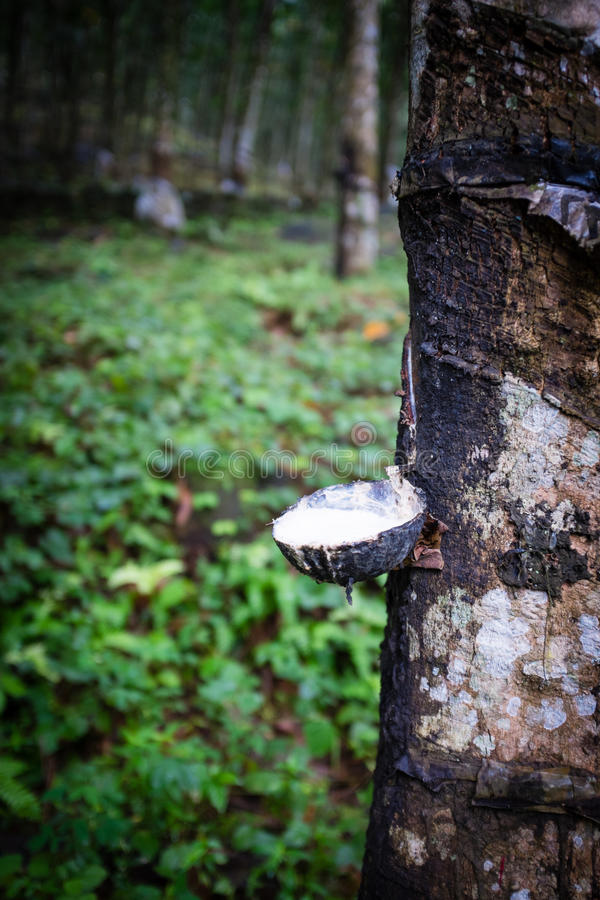 Het onttrekken van latex van een rubberboom royalty-vrije stock afbeelding