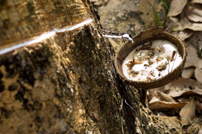 Het onttrekken van latex van een rubberboom stock afbeeldingen