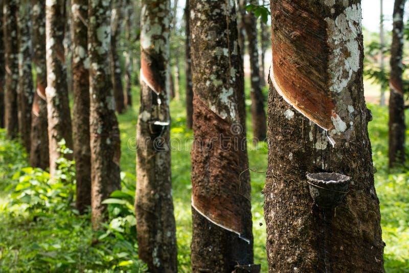 Het onttrekken van rubber, Rubberaanplanting lifes, Rubberaanplantingsachtergrond, Rubberbomen in Thailand Groene Achtergrond stock foto's