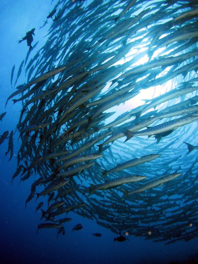 Het Onweer van de barracuda royalty-vrije stock foto