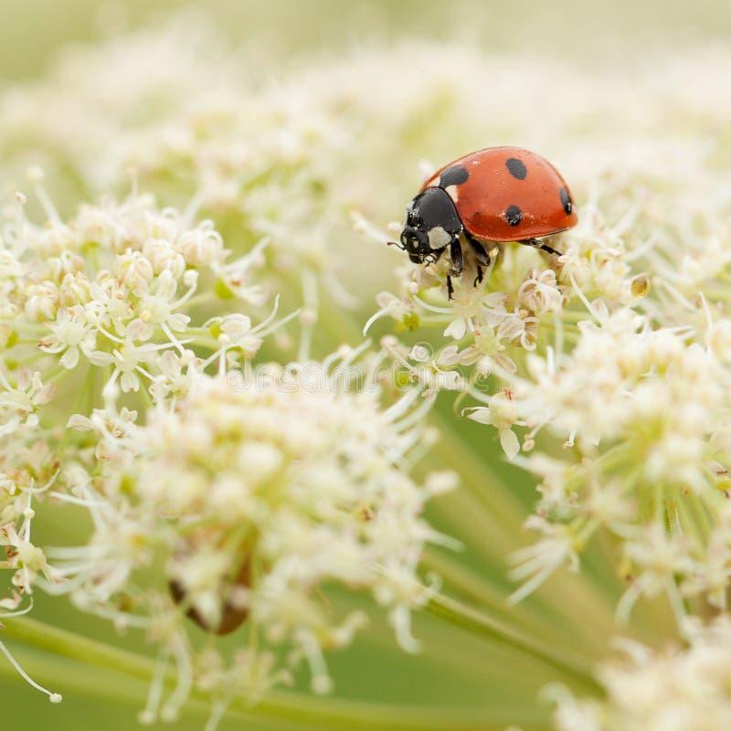 Het onzelieveheersbeestje verzamelt nectar van een witte pluizige bloem stock foto