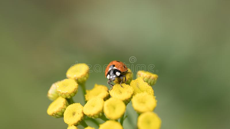 Het Onzelieveheersbeestje zit op een gekleurd blad Macrofoto van lieveheersbeestjeclose-up Coccinellidae stock afbeelding
