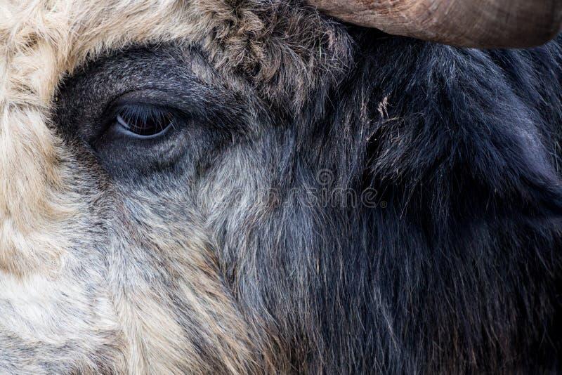 Het oog op het massieve hoofd van een hoofed dier en een deel van een hoorn stock foto's