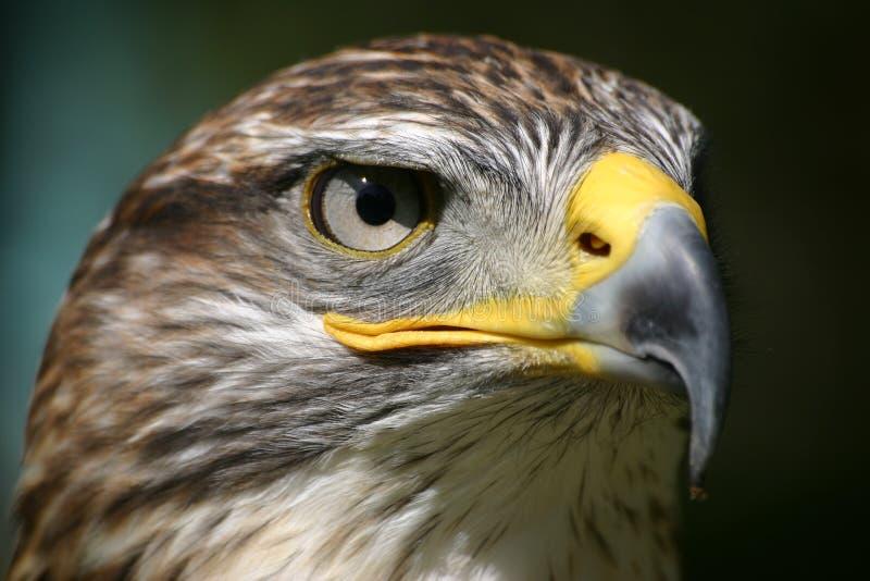 Het oog van de adelaar stock foto