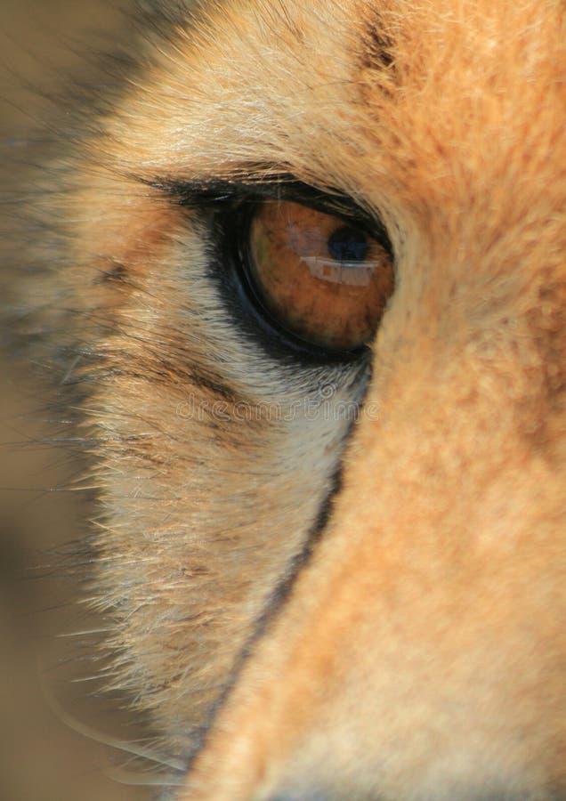 Het oog van de jachtluipaard stock afbeelding