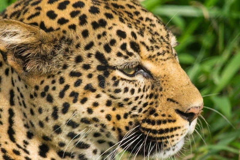 Het oog van de luipaard stock foto's