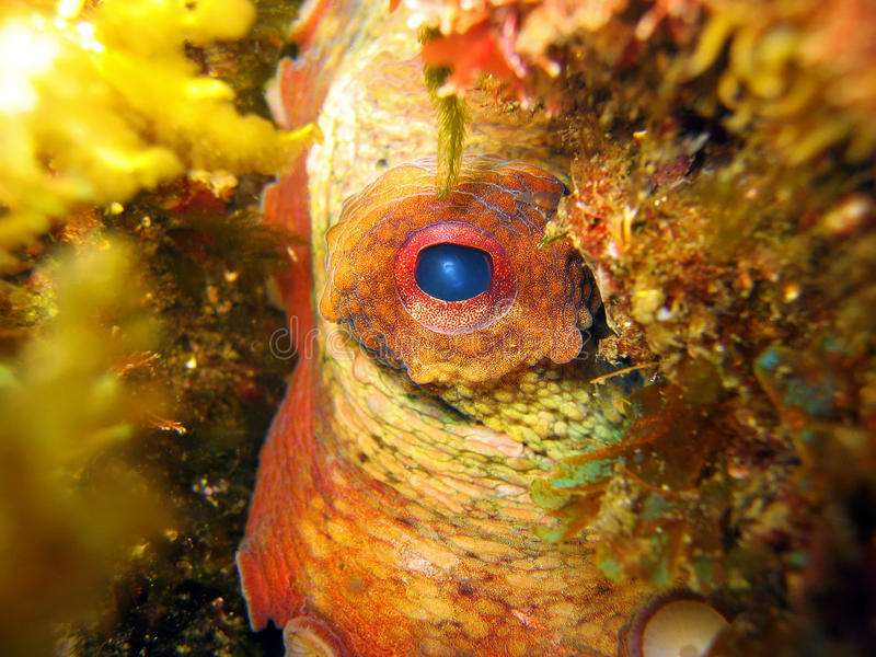 Het oog van de octopus stock afbeelding