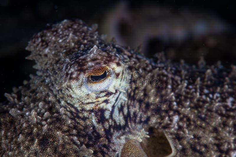 Het oog van de octopus stock foto