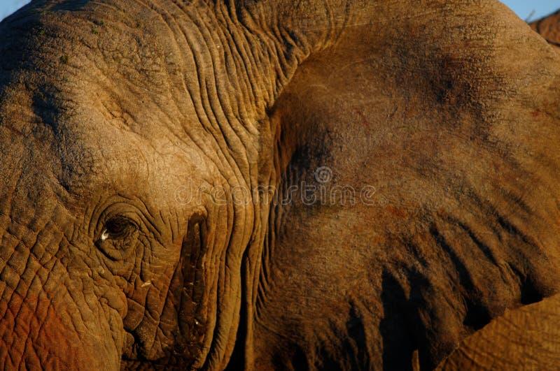 Het oog van de olifant stock fotografie