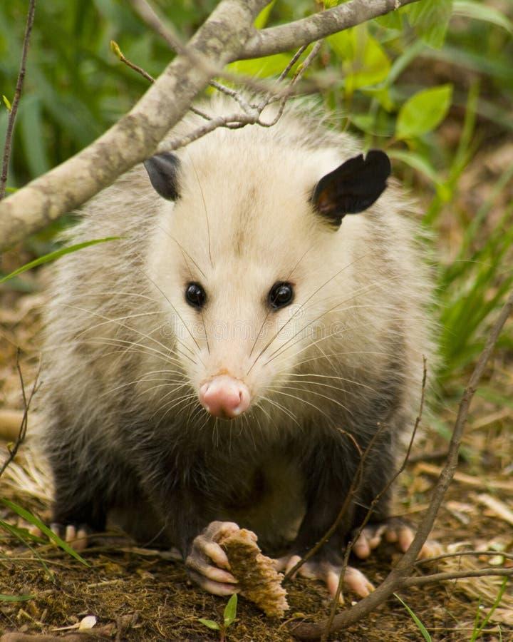 Het Oog van de opossum of van het Opossum aan Oog royalty-vrije stock fotografie