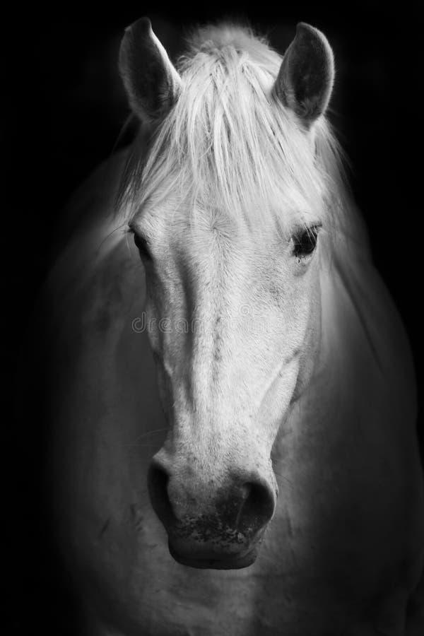 Het oog van het witte paard - zwart-wit kunstportret stock afbeeldingen