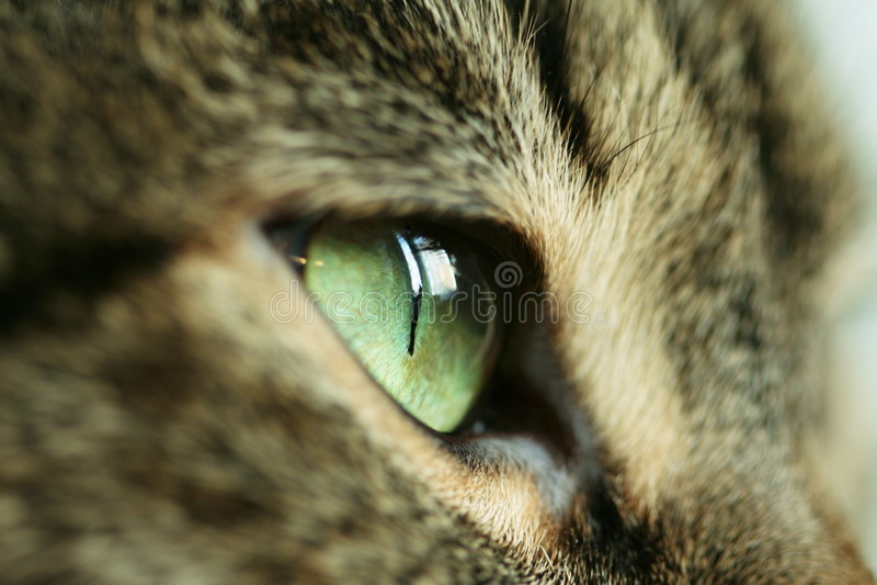 Het oog van katten stock foto