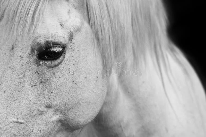 Het oog van witte paarden - zwart-wit kunstportret stock fotografie