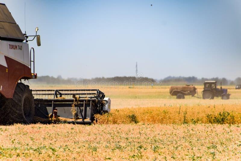 Het oogsten de erwten met a maaidorser Het oogsten van erwten van de gebieden stock afbeeldingen