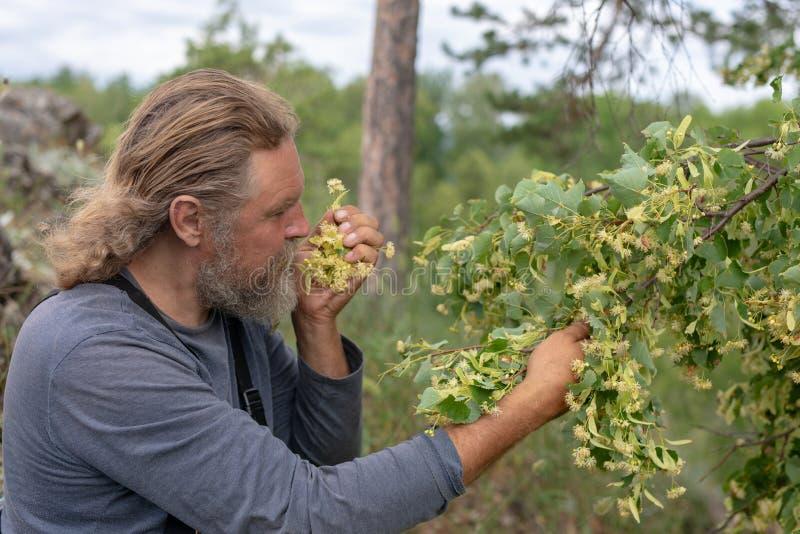 Het oogsten, landbouwersmens neemt, snijdt lindebloeiwijze af Inhaleert de geur De linde bloeit geneeskrachtige installatie voor  royalty-vrije stock foto's