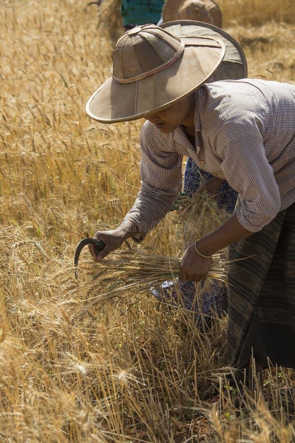 Het oogsten - Myanmar stock fotografie